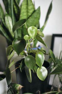 indoor plants Oatley, St George, Sydney